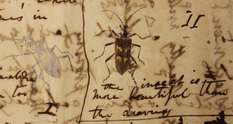 Charles Darwin beetle illustrations