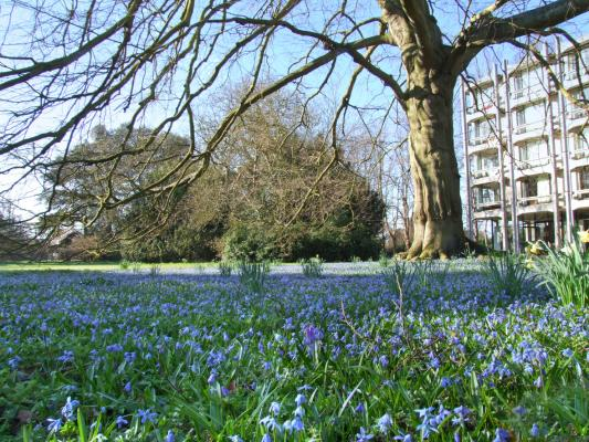 A carpet of bluebells in front of the George Thomson Building in Leckhampton