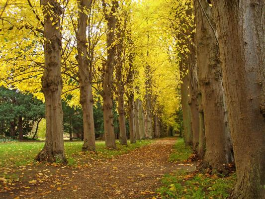 Avenue of lime trees in Leckhampton grounds