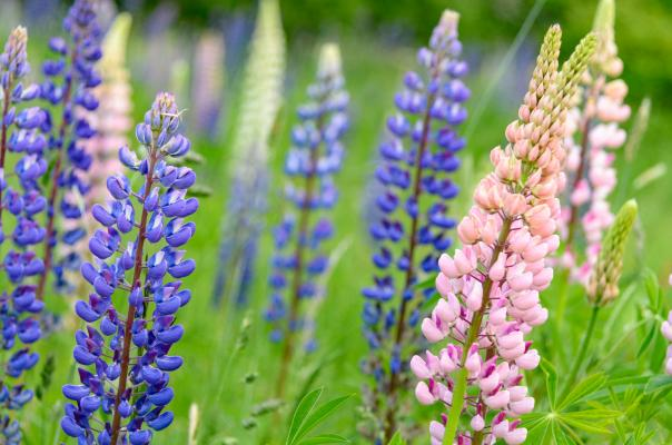 Lupins in the prairie garden at Leckhampton