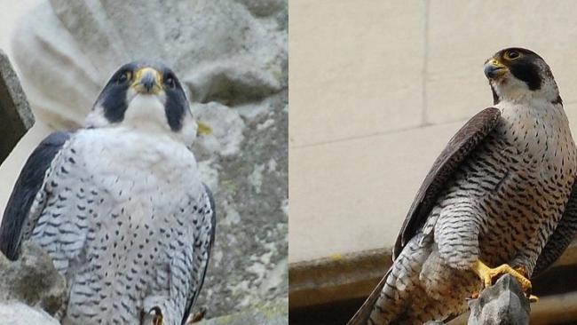 Tierciel and Falcon (https://twitter.com/camperegrines)